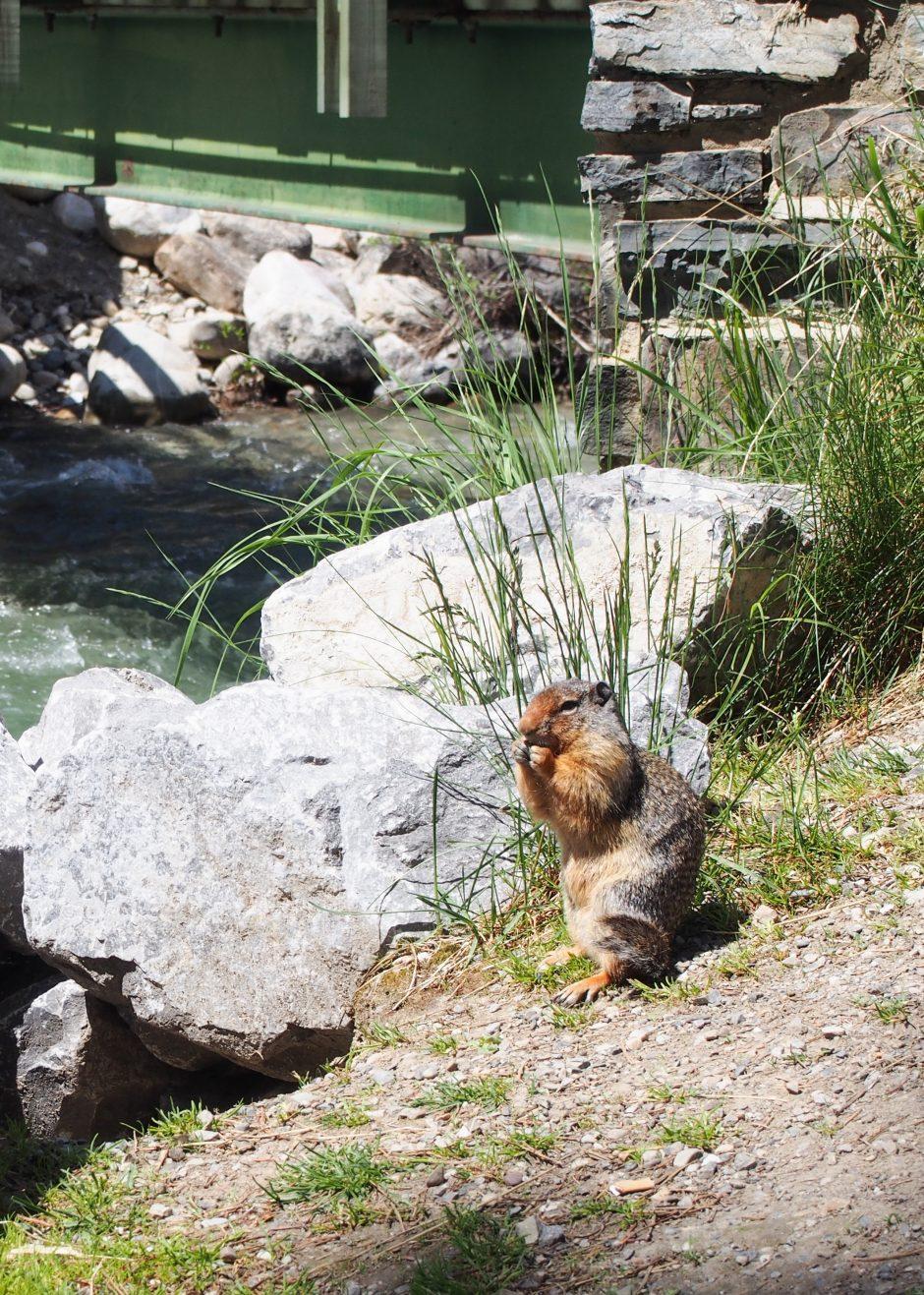 Marmot at Lake Louise Village