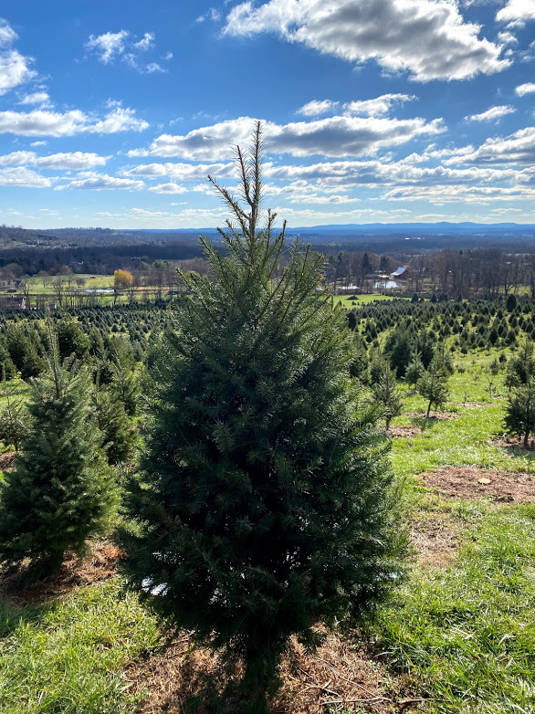 Snickers Gap Tree farm